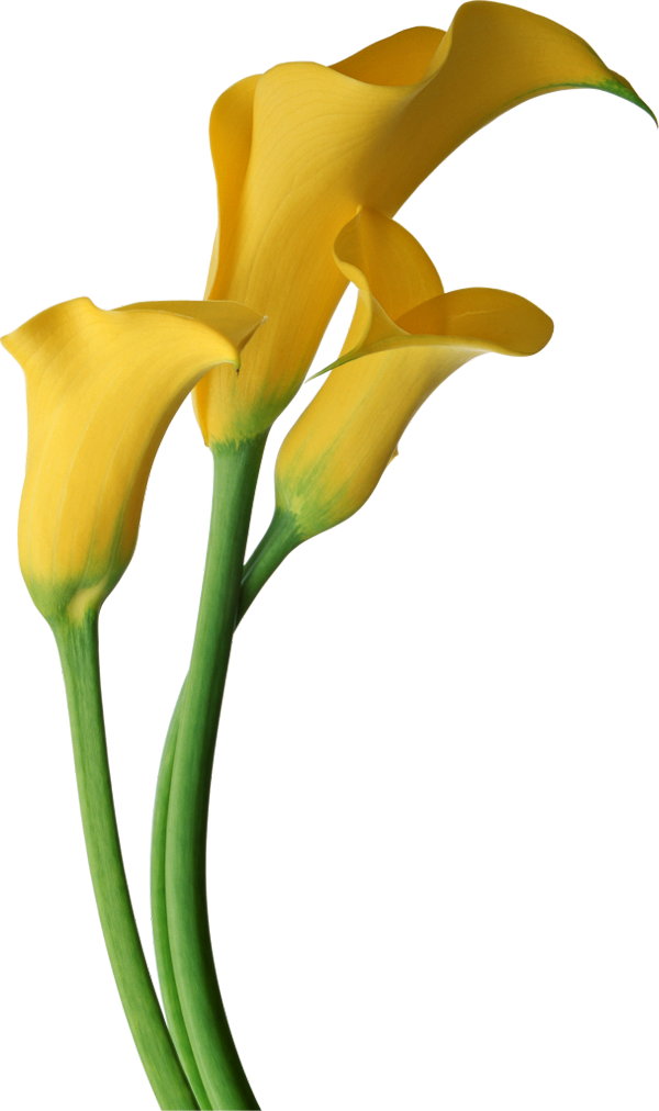 600x1012 Image Of Calla Lily Clipart