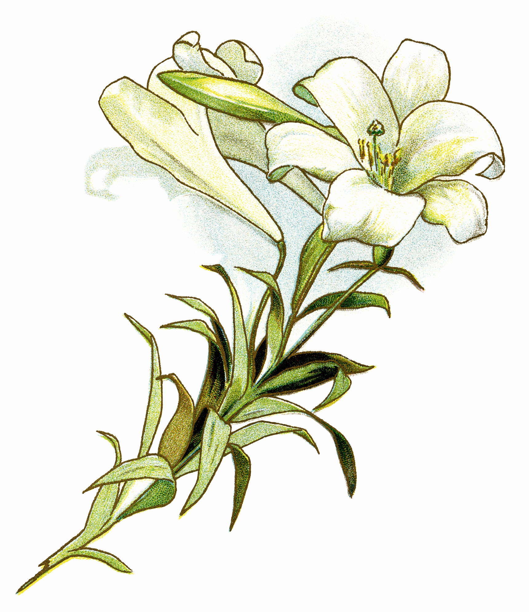 1720x1990 Flower Drawing Lily Luxury Calla Lily Clipart Free Download Clip