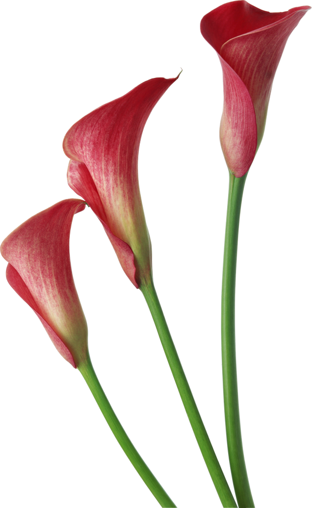 625x1017 Red Transparent Calla Lilies Flowers Clipart