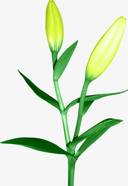 414x600 Lily, Lily Bud, Plant Png Image And Clipart For Free Download