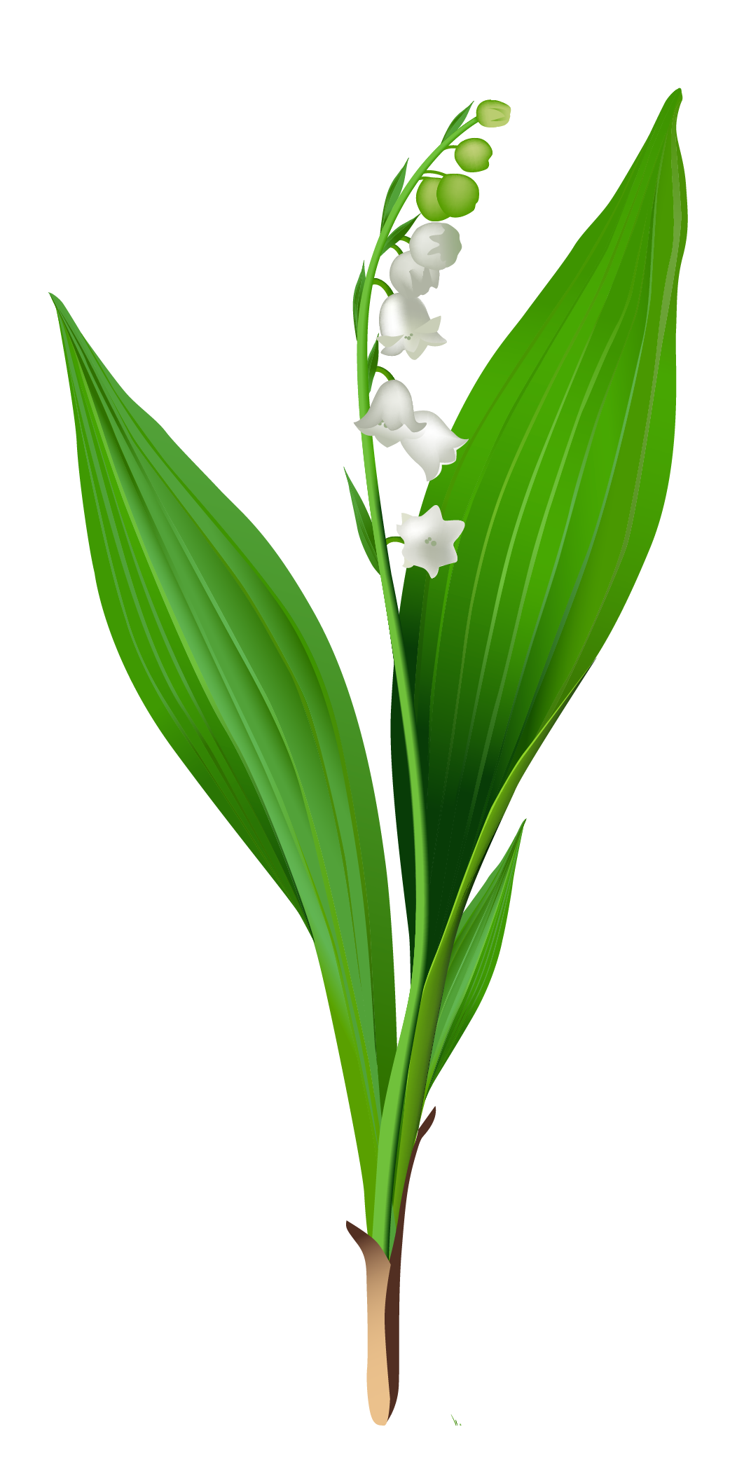 1062x2097 Spring Lily Of The Valley Png Clipartu200b Gallery Yopriceville