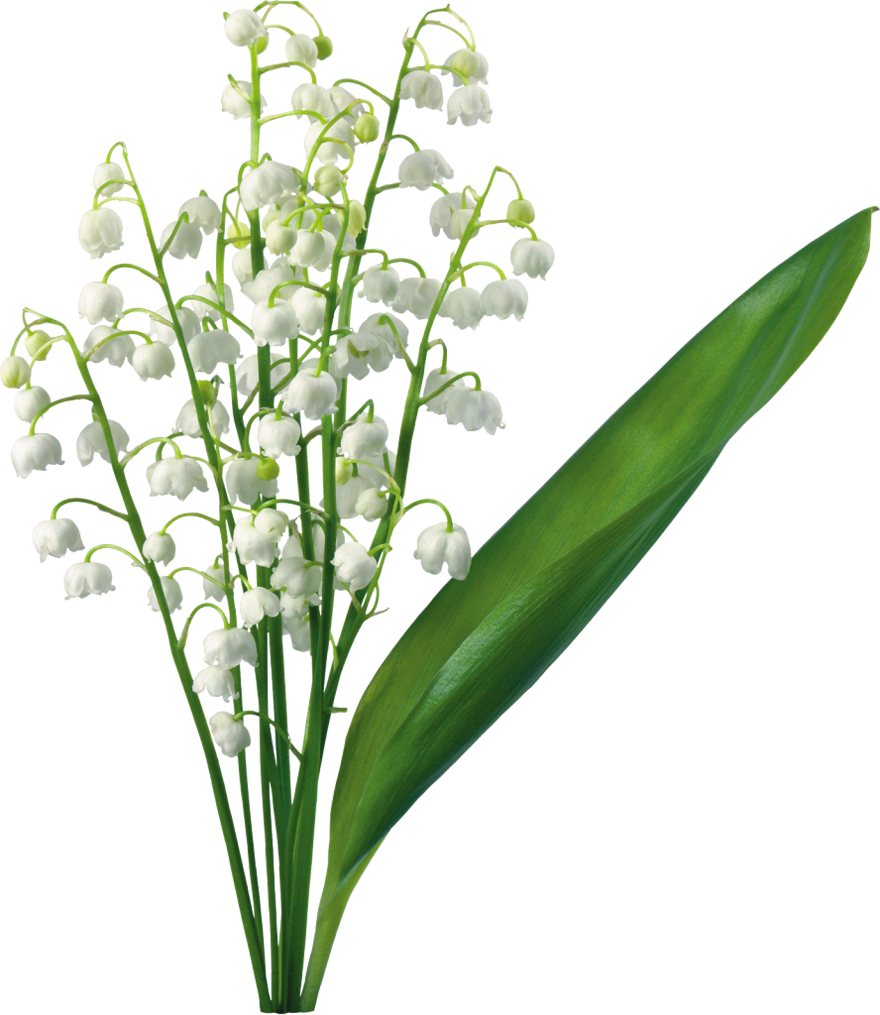 880x1015 Transparent Lily Of The Valleyu200b Gallery Yopriceville