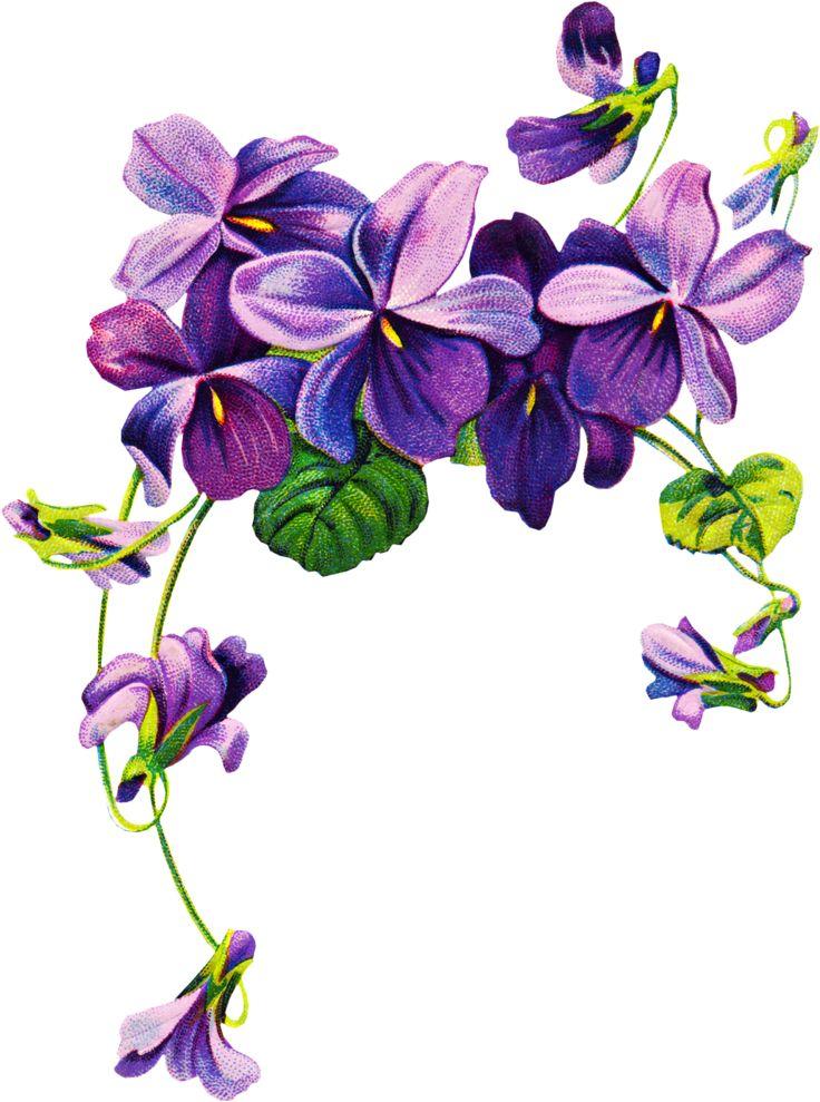 736x989 Violets Clip Art 366 Best Flower Illustrations Images