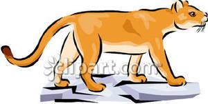 300x151 Mountain Lion Cub Walking Over Flat Rocks