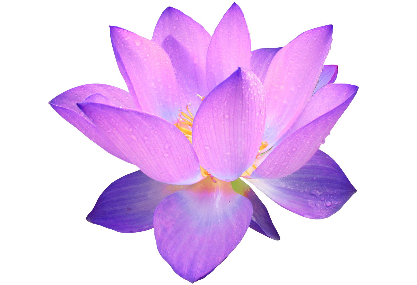 1462x1000 Collection Of Purple Lotus Flower Drawing High Quality, Free