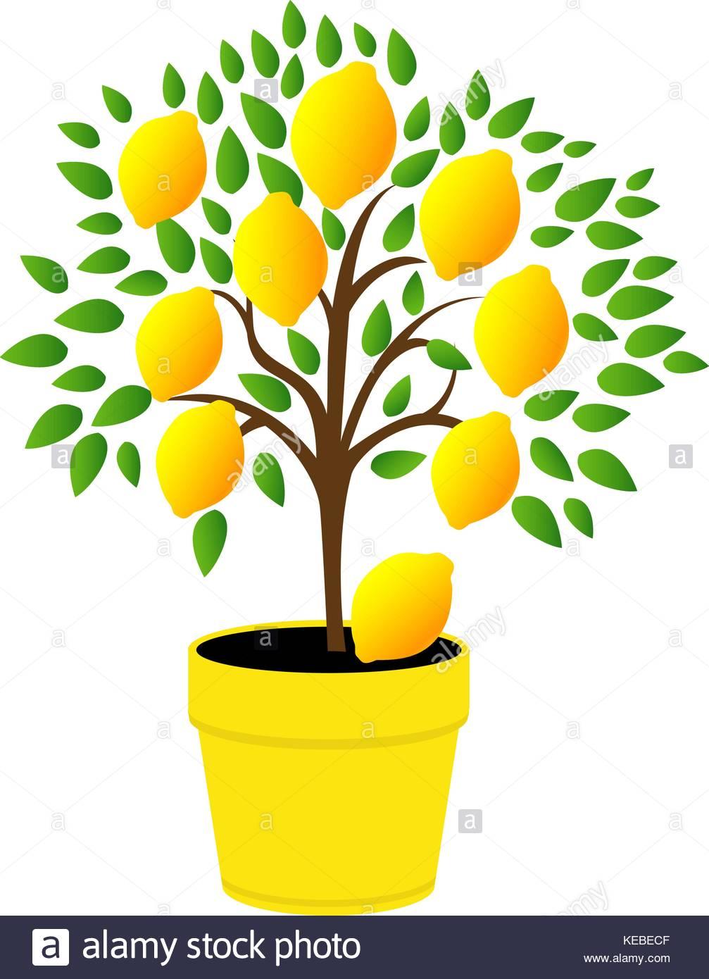 1007x1390 Lemon Tree Leaves Stock Vector Images