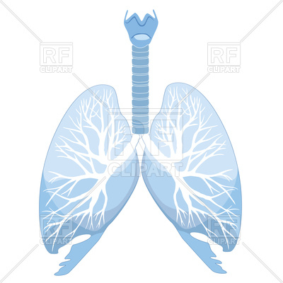 400x400 Human Lungs And Bronchi Royalty Free Vector Clip Art Image