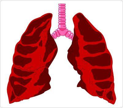 401x351 Lungs Amp Trachea Clip Art Human Body Clip Art Clip Art