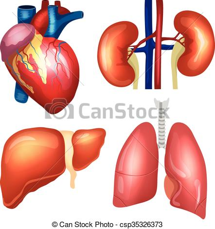 442x470 Realistic Human Organs Set. Heart, Lungs, Kidneys, Liver
