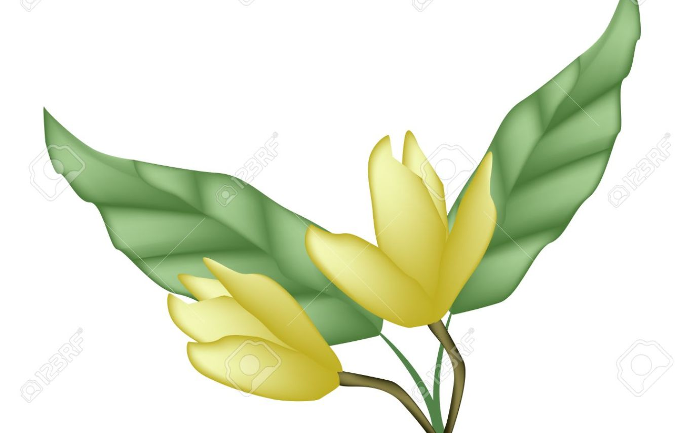 Magnolia Flower Clipart At Getdrawings Free For Personal Use