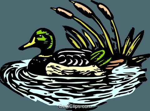 480x354 Mallard Duck Royalty Free Vector Clip Art Illustration Anim1934