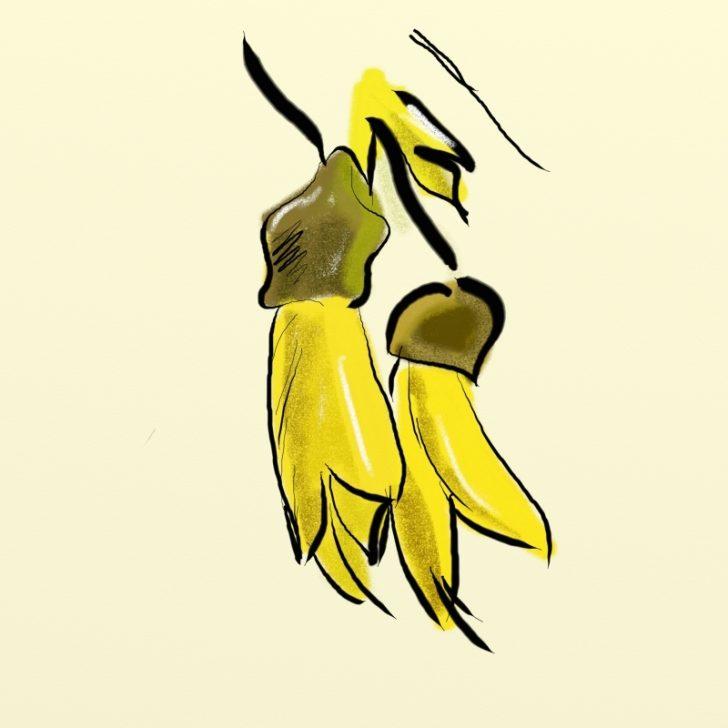 728x728 Kowhai Flower Clip Art