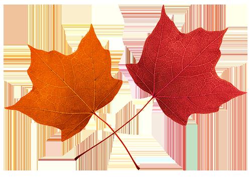 502x353 Best Maple Leaf Clip Art