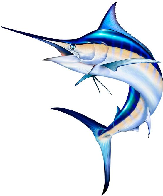 555x667 44 Best Saltwater Sport Fish Illustrations Amp Clipart Images By