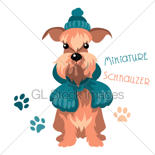 500x500 Miniature Schnauzer Dog In Winter Hat And Scarf Gl Stock Images
