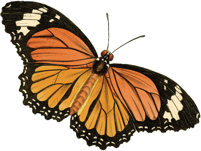 650x489 The Vintage Moth Vintage Clip Art Butterfly
