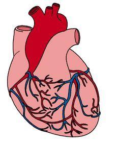 236x282 Heart Anatomy Clipart Heart Heart Anatomy, Anatomy