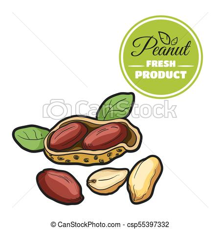 450x470 Colored Peanut White. Hand Drawn Fresh Peanut Isolated
