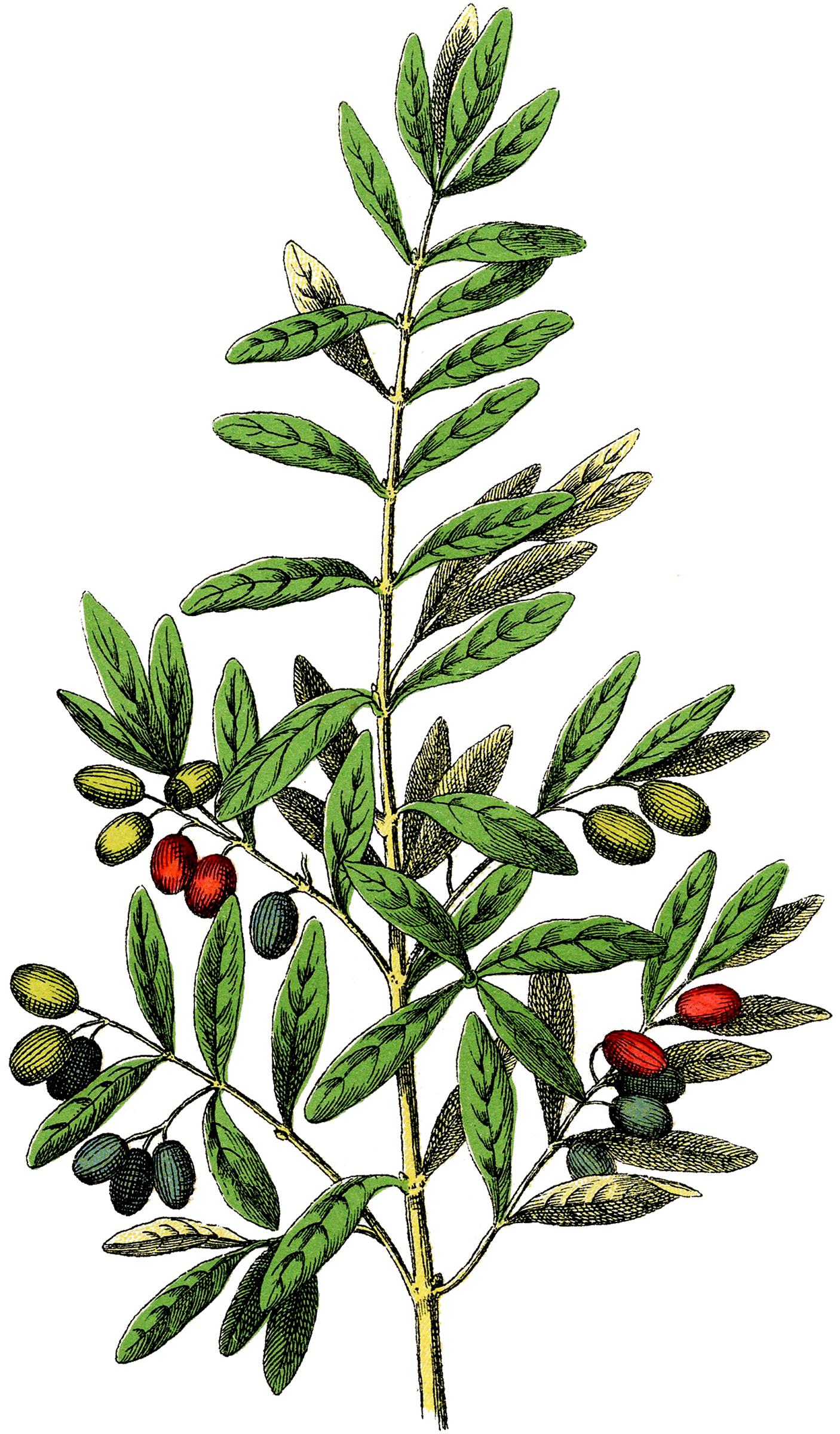 1406x2400 Free Botanical Olives Clip Art