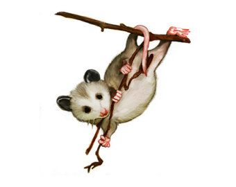 opossum clipart at getdrawings com free for personal use opossum rh getdrawings com possum clipart images possum clipart free