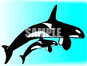 350x267 Mother Orca Whale And Her Calf