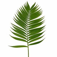 236x236 Palm Tree Leaf Png Clip Art In Category Leaves Png Clipart