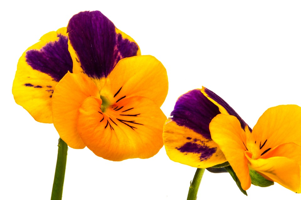 960x639 Pansy Clipart