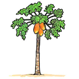 256x256 Papaya Fruit Tree Clipart