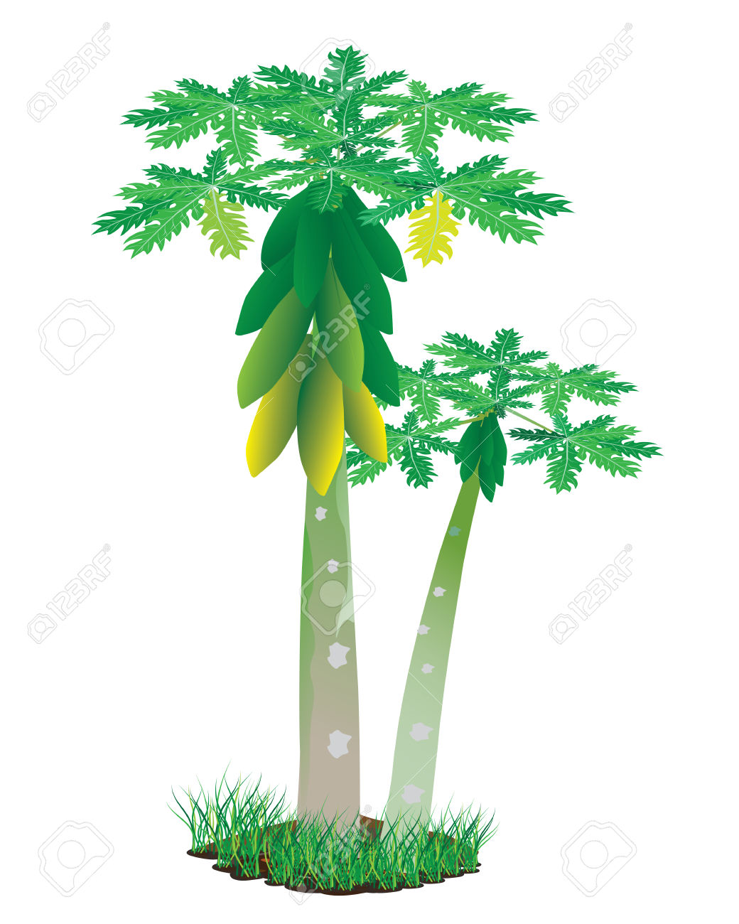 1040x1300 Collection Of Papaya Tree Clipart High Quality, Free