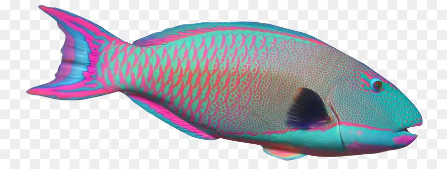 900x340 Parrotfish Angelfish Clip Art