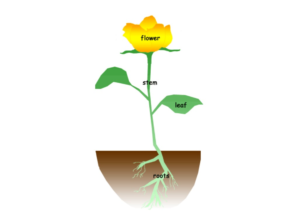 1024x768 Labeling The Parts Of A Flower Science, Biology, Plants Showme