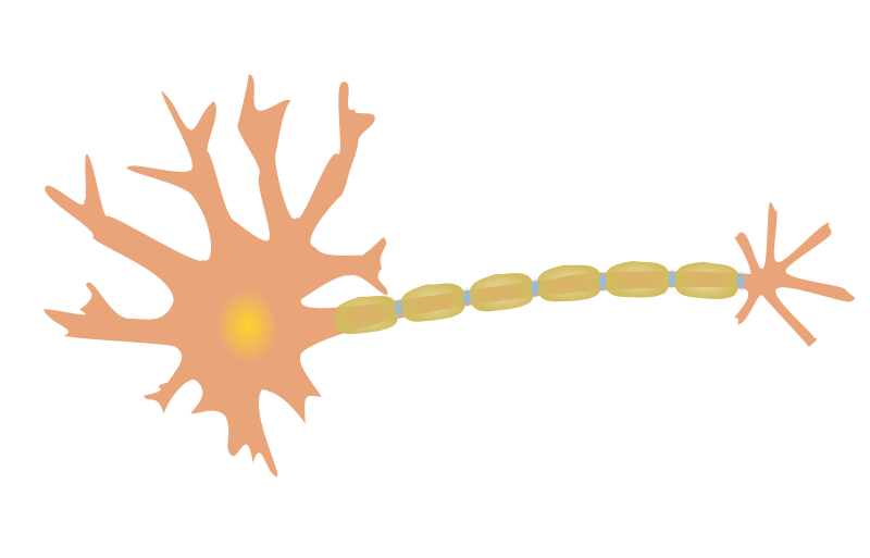 800x513 Free Clipart Single Neuron Phreed