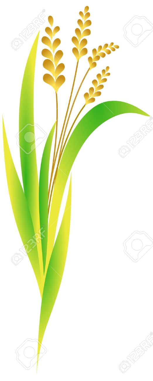 523x1300 Rice Plant Clipart