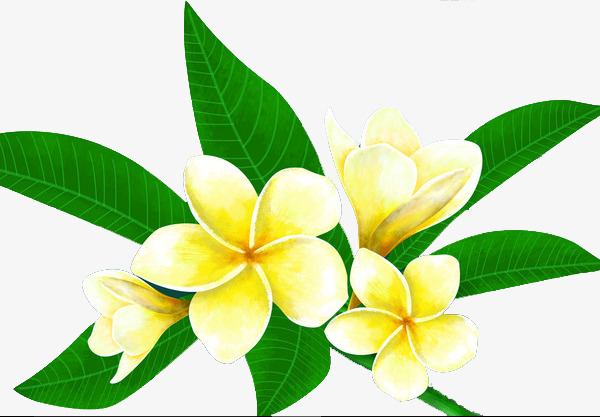 600x417 Plumeria, Hand Painted, Plant Png Image And Clipart For Free Download