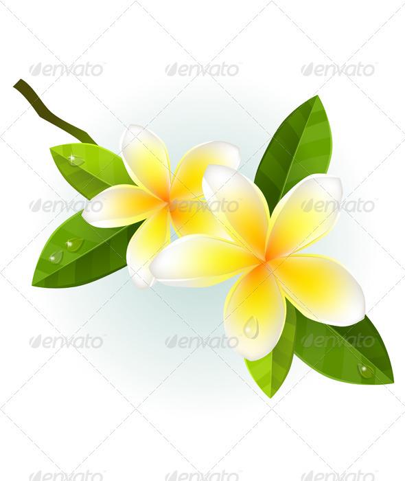 590x700 Plumeria Clipart White Blossom