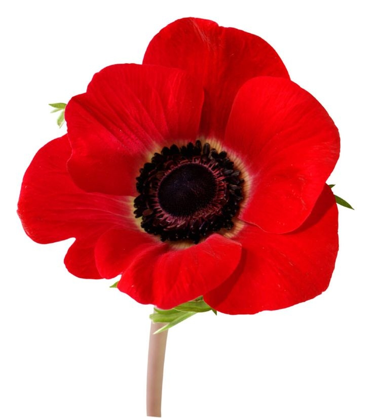Poppy clipart at getdrawings free for personal use poppy 736x826 poppy flower clipart free 13 best poppies images on pinterest mightylinksfo