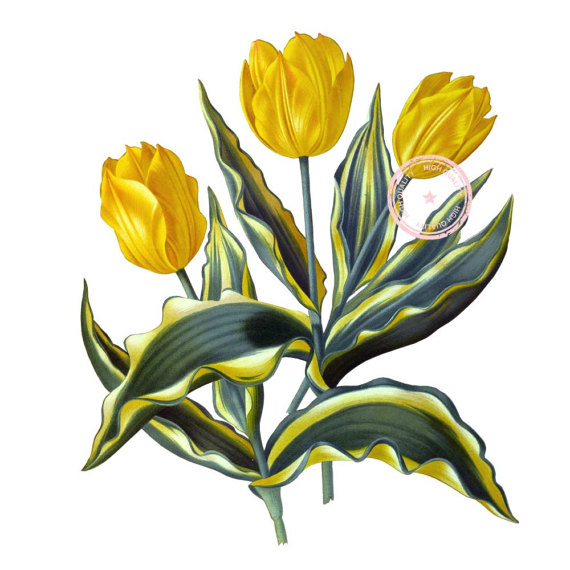 570x570 Yellow Tulips Clip Art Flower Clipart Floral Clipart Botanical