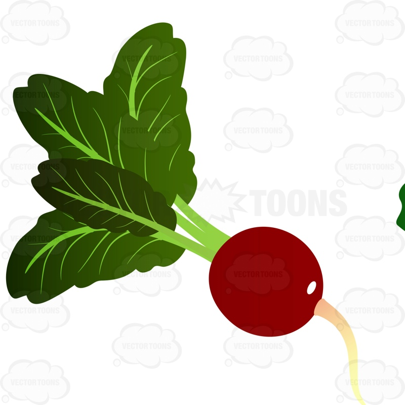 800x800 Ripened Radish With Bright Green Leaves Coming From Stem Cartoon