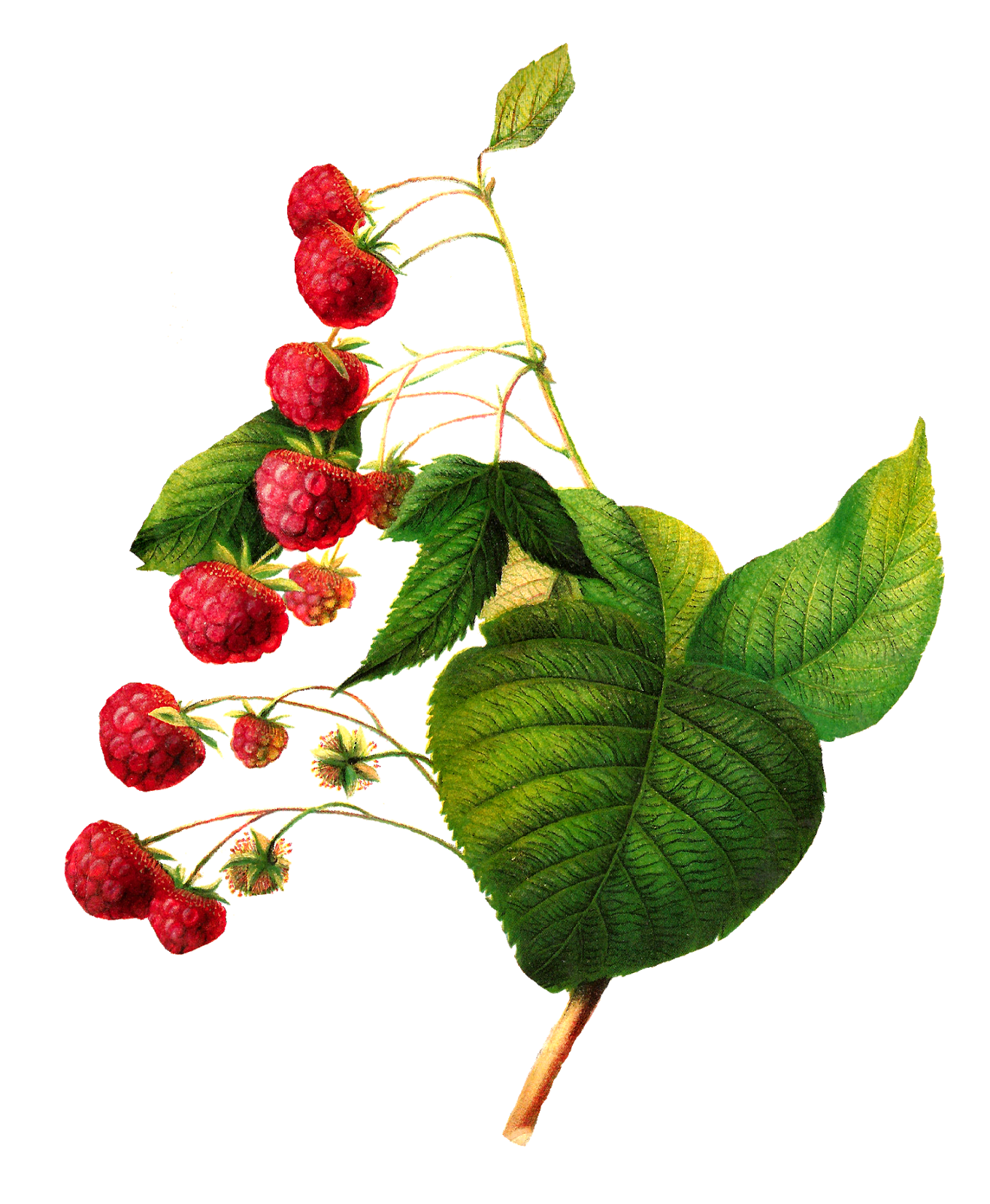1317x1600 Antique Images Antique Raspberry Image Digital Fruit Clip Art
