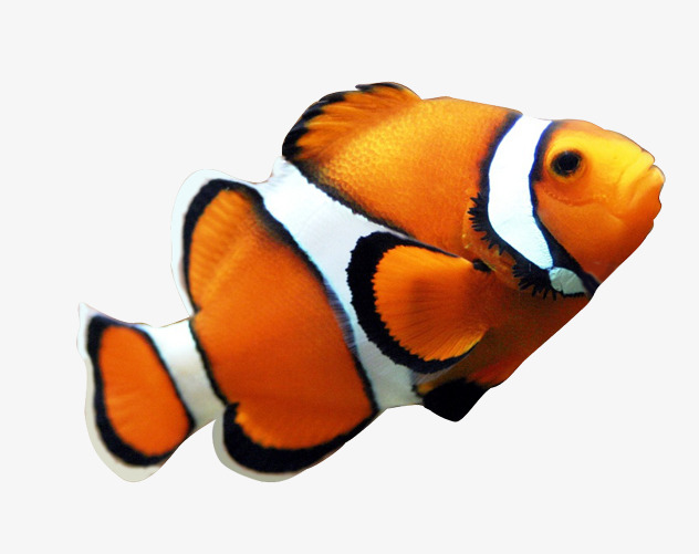 632x501 Seafood Clown Fish Yellow, Clownfish, The Underwater World, Real