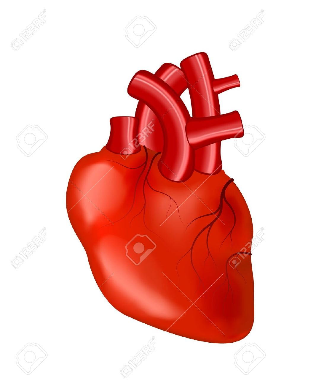 1093x1300 Human Heart Images With Parts Clipart Real Human Heart Clipart
