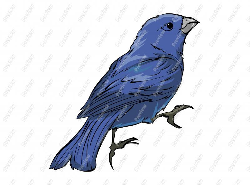 800x593 Realistic Blue Bunting Birdcharacter Clip Art