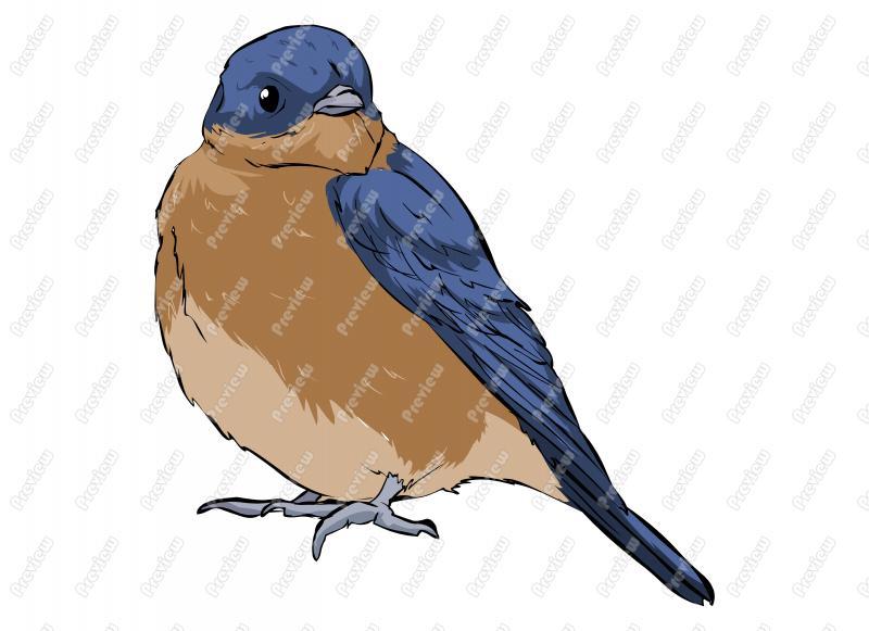 800x581 Realistic Eastern Bluebird Character Clip Art