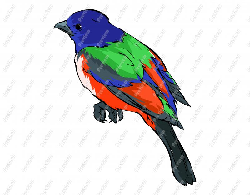 800x623 Realistic Painted Bunting Bird Character Clip Art