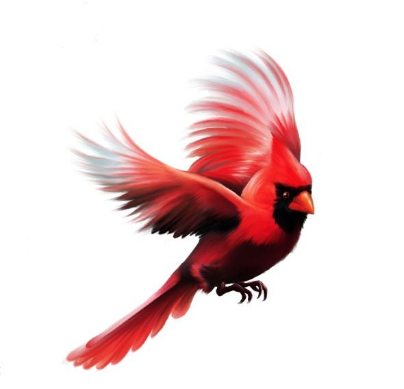 590x568 Collection Of Cardinal Bird Flying Drawing High Quality