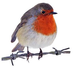 Red Robin Clipart