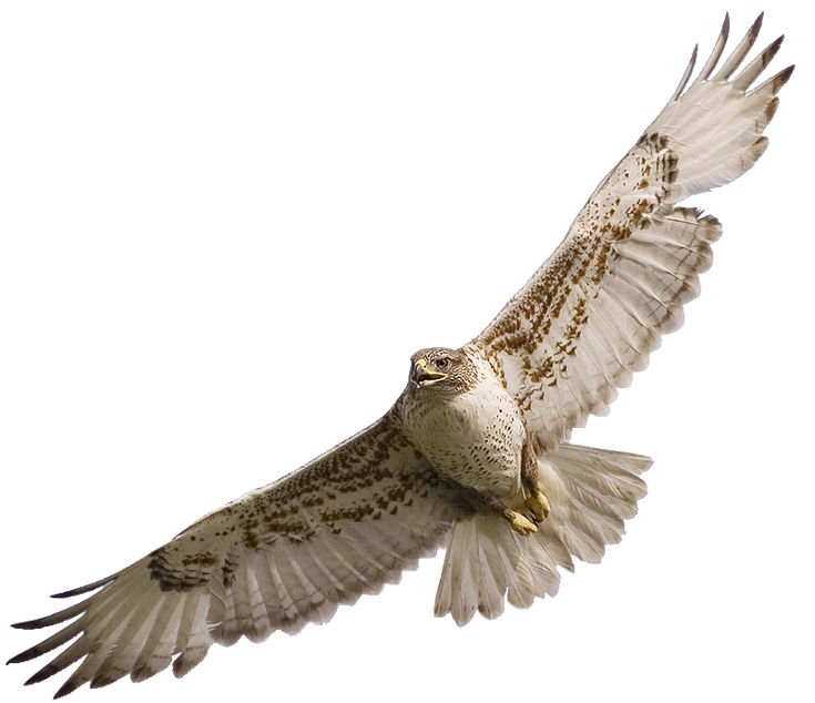 Red Tailed Hawk Clipart
