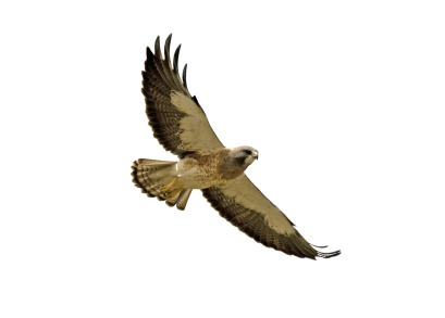 409x293 Collection Of Red Tailed Hawk Clipart High Quality, Free
