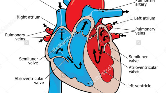 570x320 Diagram Of Human Heart Clipart Human Heart Heart Medical Diagram