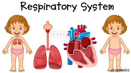 500x278 Respiratory System In Little Girl Stock Image And Royalty Free